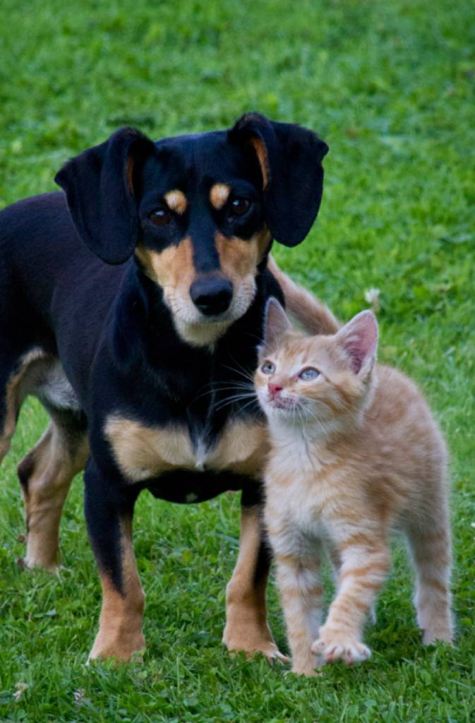 Public Domain: Kitten and Puppy Side by Side