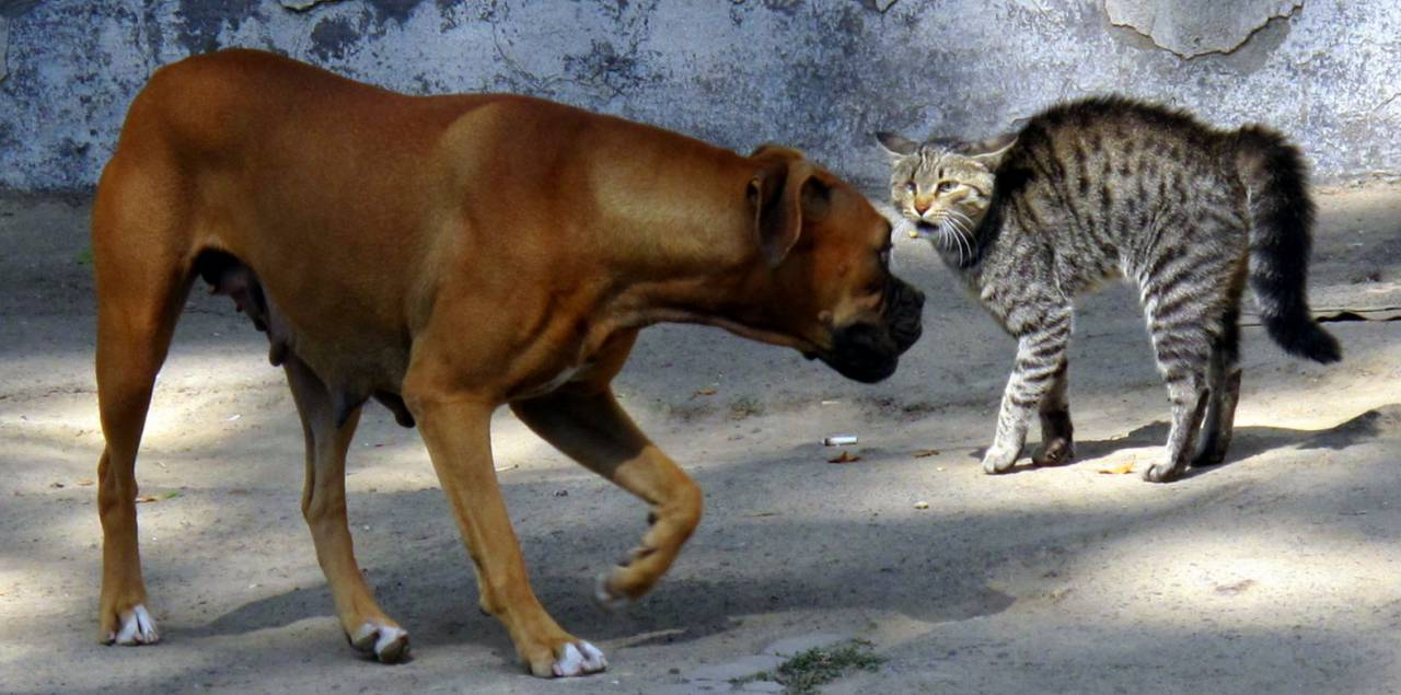 Public Domain: Cat and Dog Showing Aggressive Behavior Towards Each other