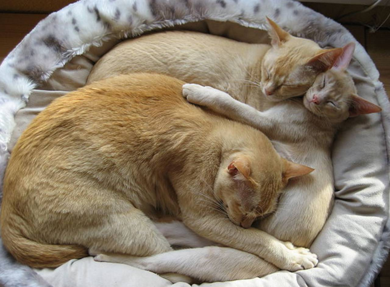 Commons Three Cats Snuggling In a Bed