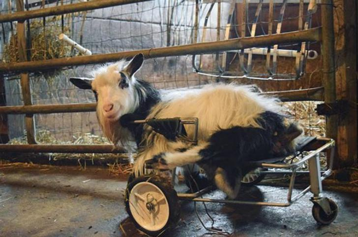 Baine the dwarf goat gets a wheel chair