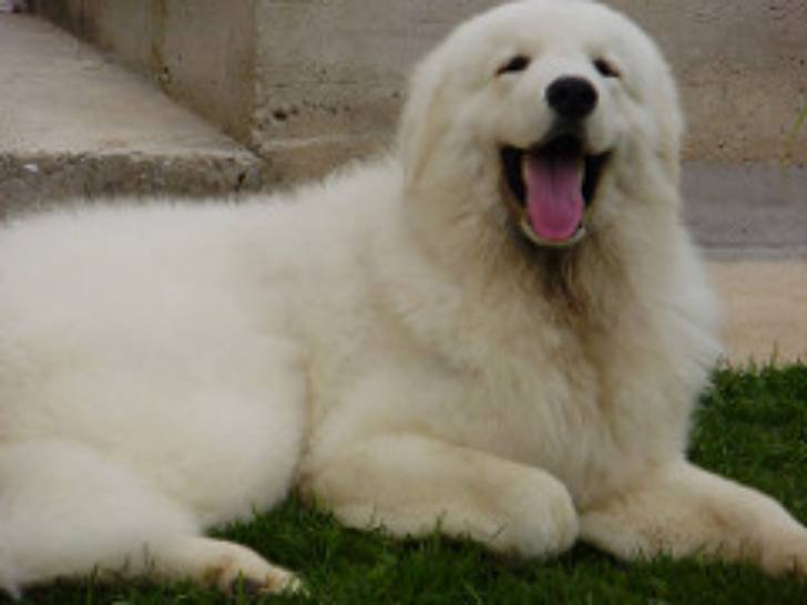 Kuvasz - Loyal Dog Breeds