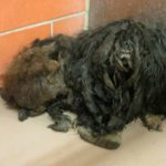 Shelter Animal Transformation - Ellen - Matted Dog