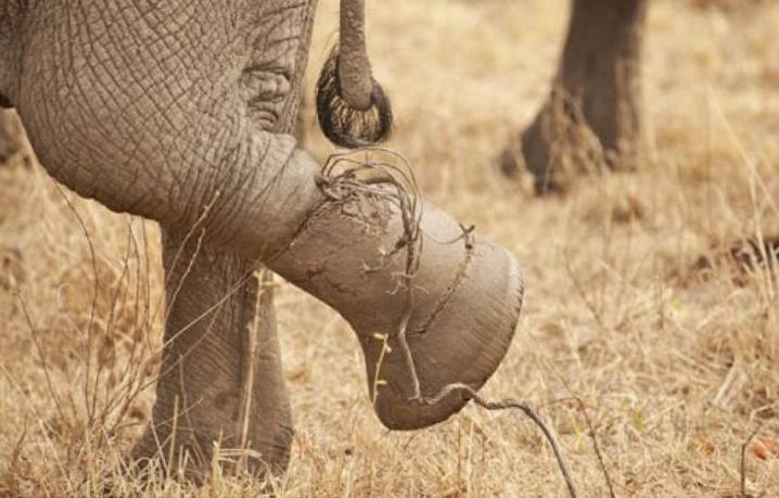 Elephant Caught In Snare