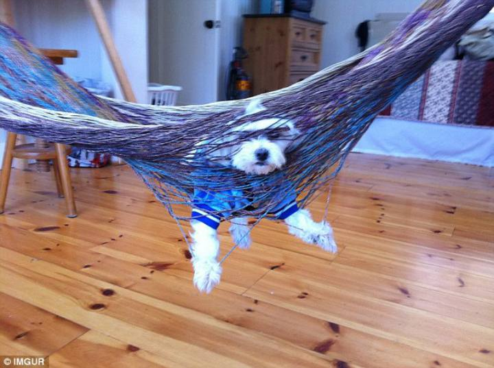 Dog stuck in hammock